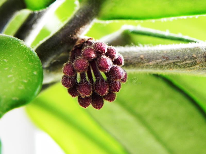 De Hoya-plant bloeide zijn bloemen Mooie planten en flankerende bloemen Details en close-up stock fotografie