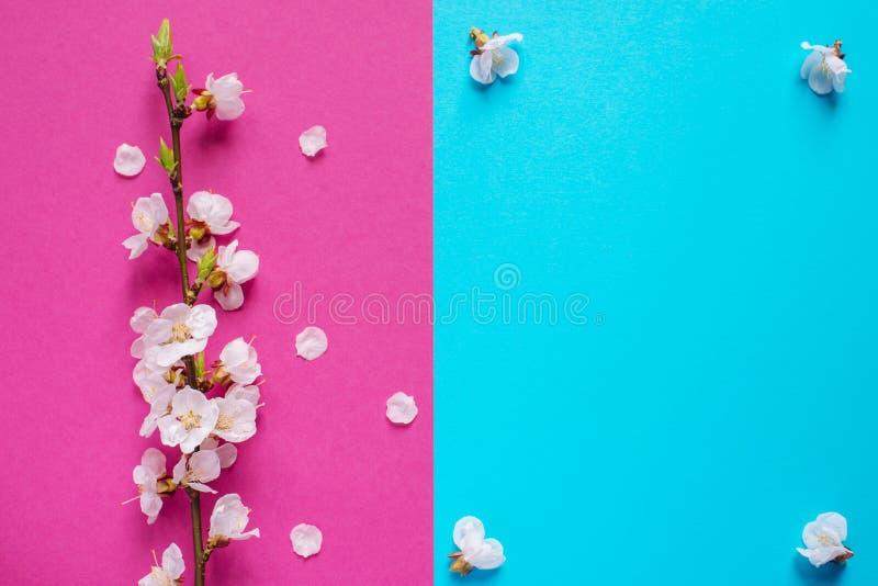 Branche van bloeiende abrikoos op de blauwe en roze achtergrond Mooie florale veer met bloeiende boom Lentbloemen S royalty-vrije stock afbeeldingen