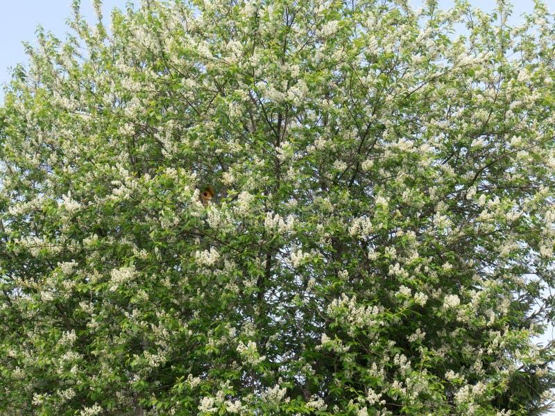 A cerejeira com folhas verdes jovens e raças de flores brancas Casa de passarinho amarela entre os galhos Flor da primavera fotos de stock royalty free