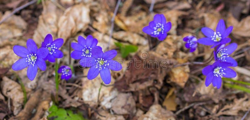 一朵美丽的春花,肝 肝知母 黑肝 免版税库存照片