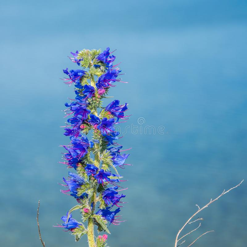 紫色夏天花的关闭在蓝色海被弄脏的背景  紫罗兰色颜色海索草  Hyssopus officinalis 免版税库存图片