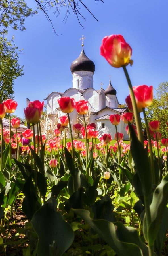 Templo de pedra cristã ortodoxo Pskov, Pskov A Igreja de São Basil, o Grande no Capitólio, sobre um fundo de tulipas vermelhas imagem de stock