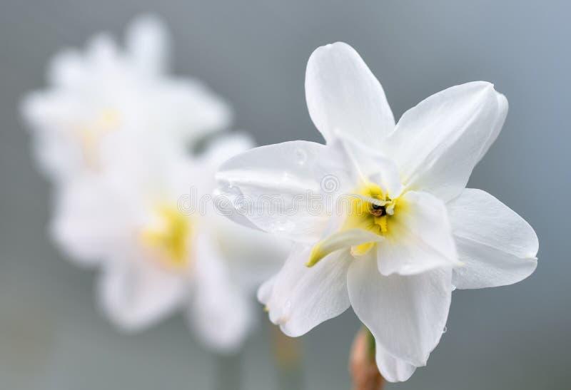 Φόντο Spring daffodils Ναρκίσκος ποιητικός απομονωμένος στο φως Πλήρως ανοιχτά λουλούδια daffodils Λουλούδια για την άνοιξη στοκ φωτογραφίες με δικαίωμα ελεύθερης χρήσης