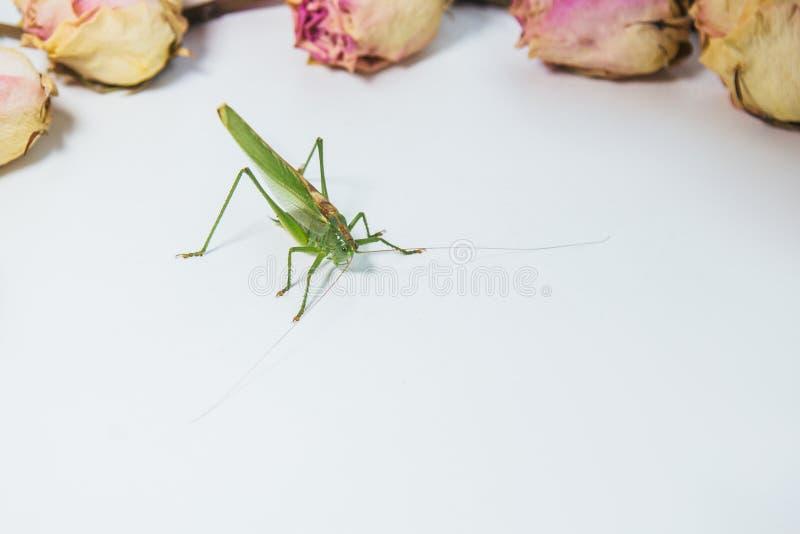 背景模糊的白桌特写镜头上的蝗虫或蚱蜢 活生生的有害昆虫 KatyView顶视图 免版税库存照片