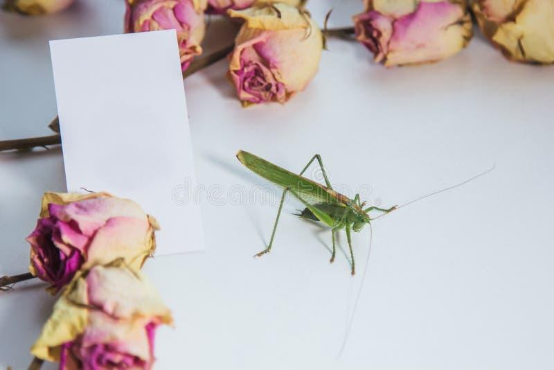 背景模糊的白桌特写镜头上的蝗虫或蚱蜢 活生生的有害昆虫 KatyView顶视图 库存照片