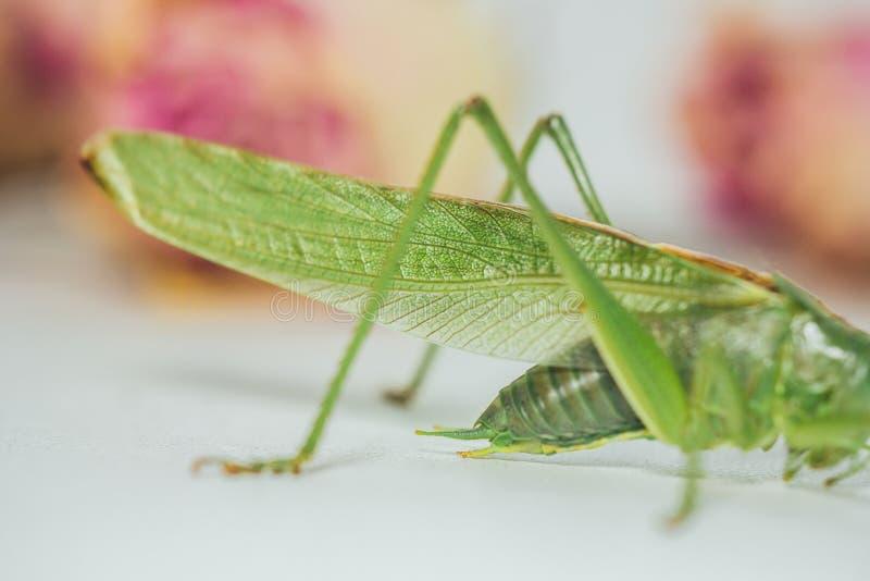 背景模糊的白桌特写镜头上的蝗虫或蚱蜢 活生生的有害昆虫 卡蒂德 复制空间 库存图片