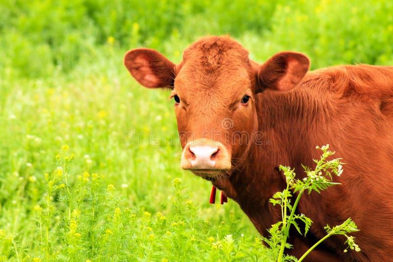 Ung brun mjölkko, kviga bets på en gård som grönt gräs under sommaren Stora kor på bete under våren Kor royaltyfri fotografi