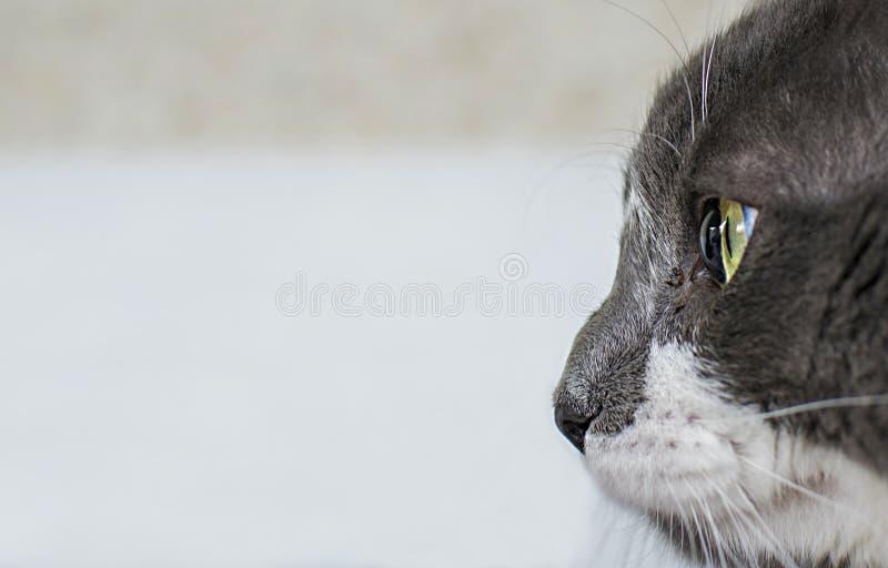 Vista de cerca del hermoso gato verde y el ojo x27;s Gris y gato blanco con fondo blanco Bonita piel texturada Macro foto de archivo libre de regalías
