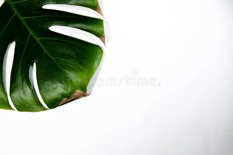 Monstera Liana Wielki zielony liść na białym tle Makro obrazy stock