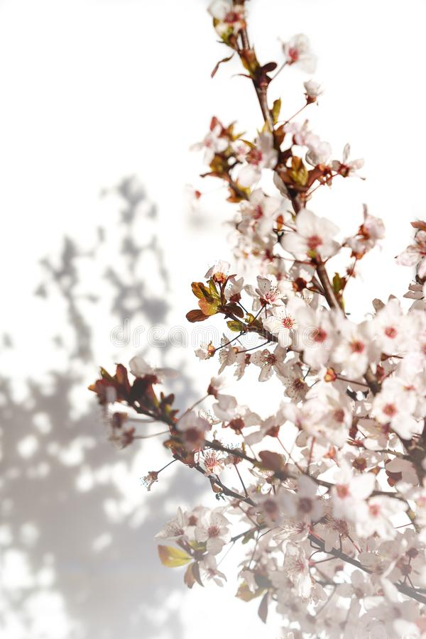 晨光阴影白粉花开,阳光模糊 软焦点 春花 库存照片