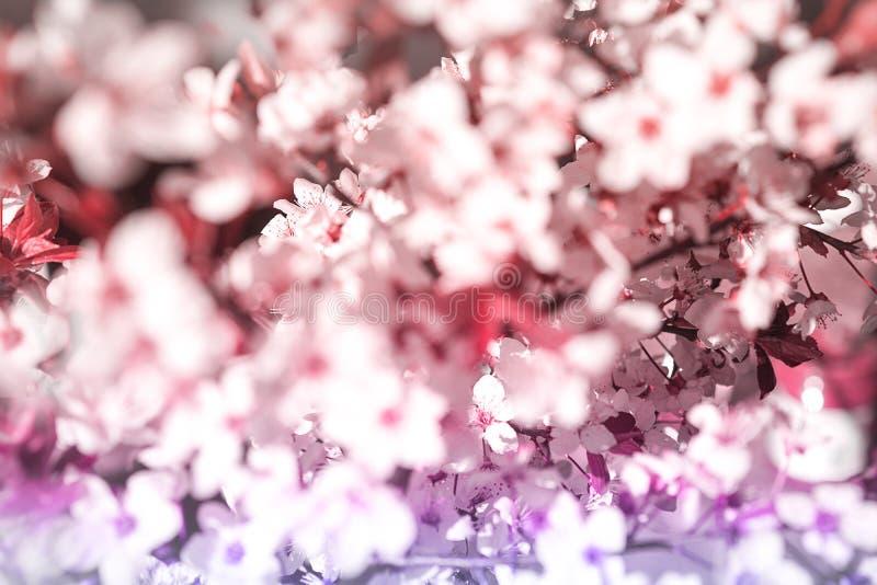 晨光阴影白粉花开,阳光模糊 软焦点 春花 免版税库存图片
