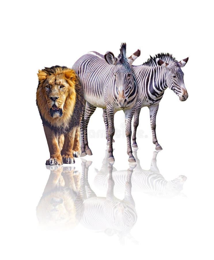 Zebras och lion isolerade på vit bakgrund Det återspeglar deras bild De är afrikanska djur royaltyfri foto