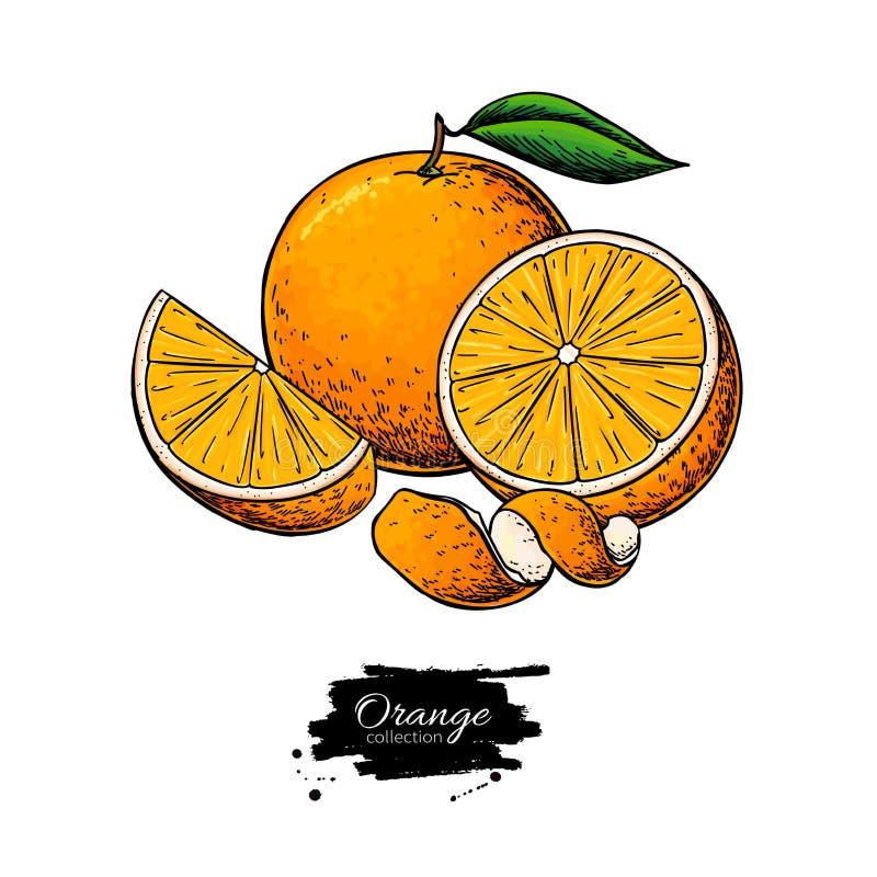 Πορτοκαλί διανυσματικό σχέδιο Έγχρωμη εικονογράφηση θερινών φρούτων Απομονωμένες συρμένες χέρι ολόκληρες πορτοκάλι, φέτα και φλού ελεύθερη απεικόνιση δικαιώματος