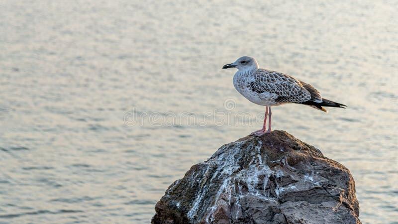 Un gabbiano in piedi su una roccia con acqua sullo sfondo Una gabbiano sulla costa del Mar Nero a Nessebar, Bulgaria Un Kingfishe immagine stock