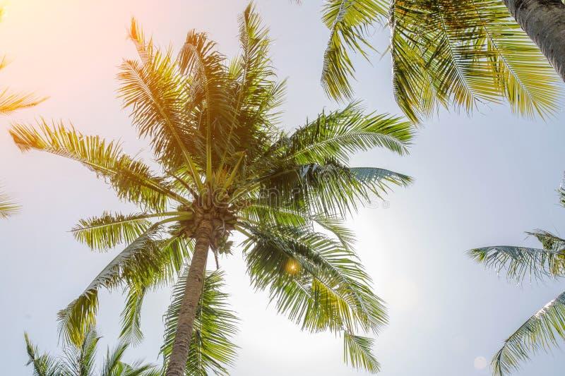 Le noci di cocco crescono su un alto palma Grandi diramazioni La frutta è in cima al bagagliaio Giorno senza nuvole immagini stock