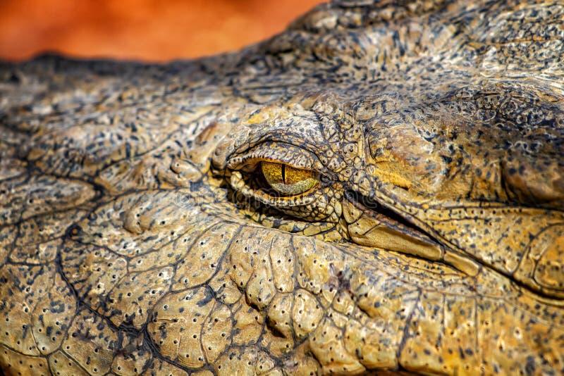 Immagine chiusa dell'occhio di coccodrillo È la foto di un coccodrillo del Nilo in Senegal, Africa L'occhio è giallo e ha uno str immagini stock