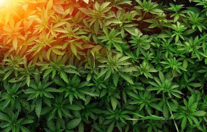 Всходы предпосылки молодые марихуаны в лучах заходящего солнца Растя органическая пенька на ферме Обои марихуаны стоковое изображение