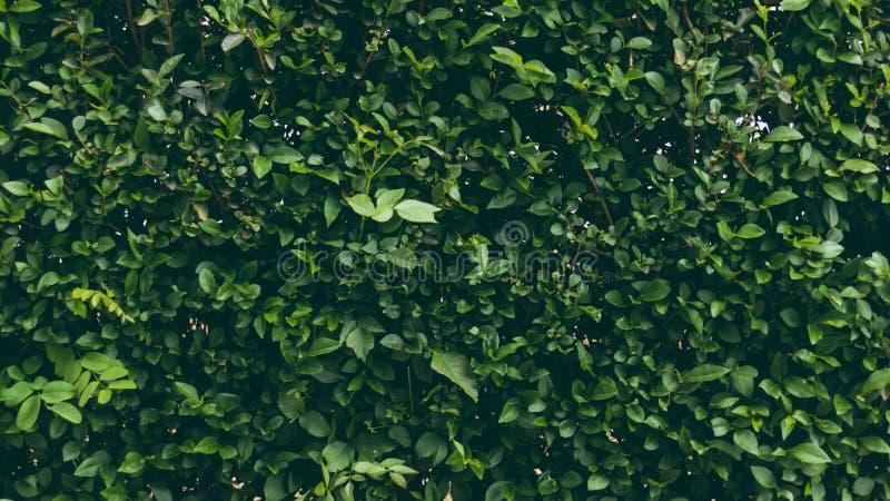 Grüne Graswand Exakt getrimmte Büsche im Park Grüner Hoher Zaun als Hintergrund stockbild