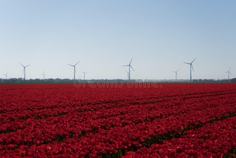 Campo di tulp rosso chiaro con turbine eoliche olandesi pure in sottofondo Cielo neutro bianco chiaro Tullo rosso immagine stock