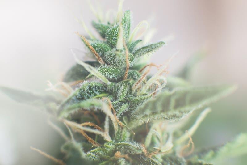 与糖trichomes的宏观射击 医药大麻cbd thc 芽增长的大麻在房子里 免版税库存图片