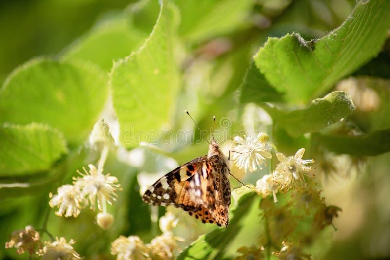 Schmetterling auf Lindeblüte Schmetterlingsinvasion Eine Nahaufnahme von einzelnen Invasionsspeziesanlagennymphalis xanthomelas i stockfotografie