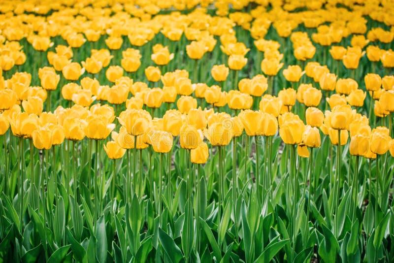 黄色郁金香垂直的背景,横幅 五颜六色的郁金香在花园,树木园里 花床在春天公园 免版税图库摄影
