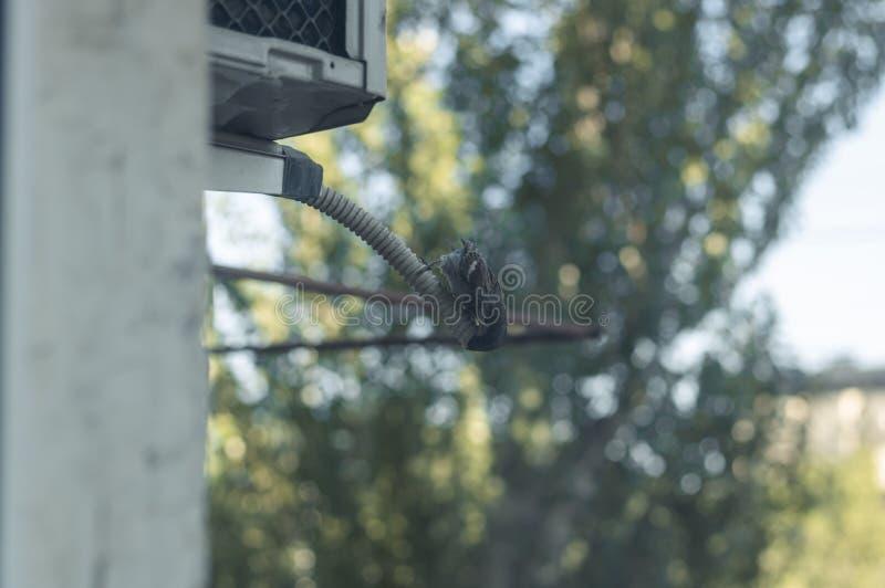 El gorrión bebe el agua de un tubo del aire acondicionado Vida de ciudad de pájaros Día muy caliente y sofocante Condensado de la imagenes de archivo