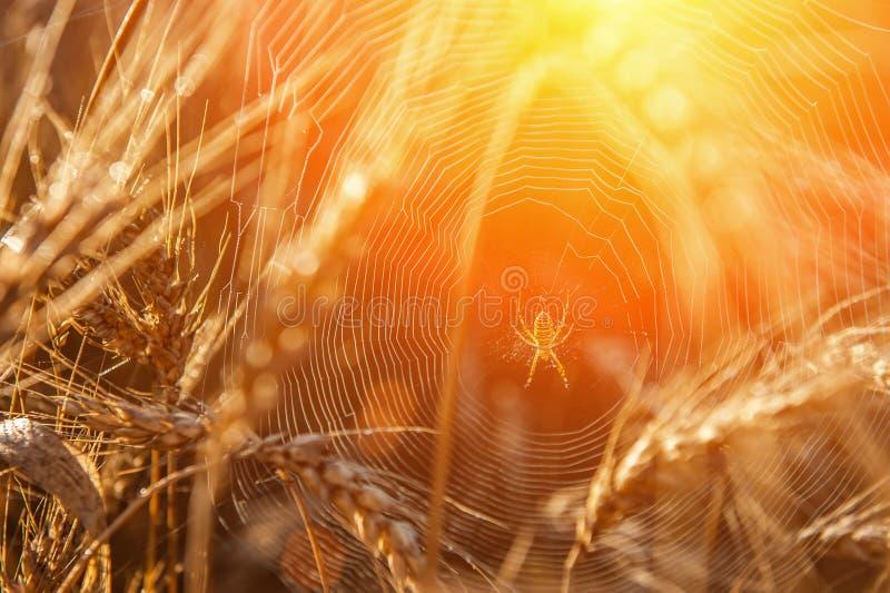 Giacimento di grano con un riflesso del sole Orecchie dorate di grano o di segale Intero primo piano dei grani L'idea di una prog immagine stock libera da diritti