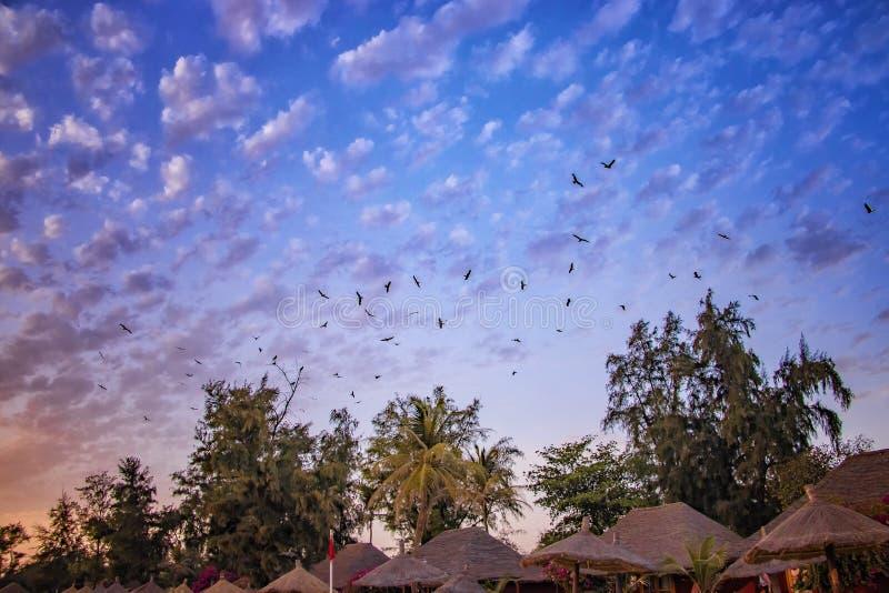 在天空的飞鸟在日落在塞内加尔,非洲 他们是老鹰,并且天空有一美好的红色 自然背景是 库存照片