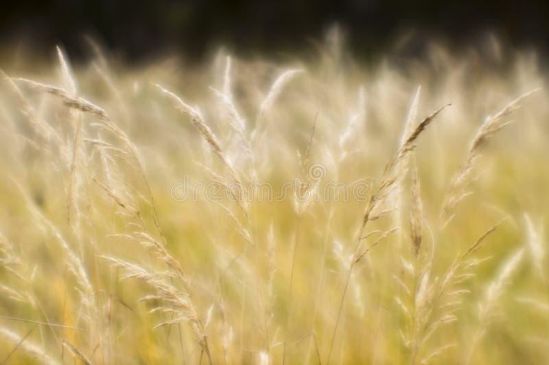 秋季干草的软背景模糊 小麦穗背景的提取 模糊 图库摄影