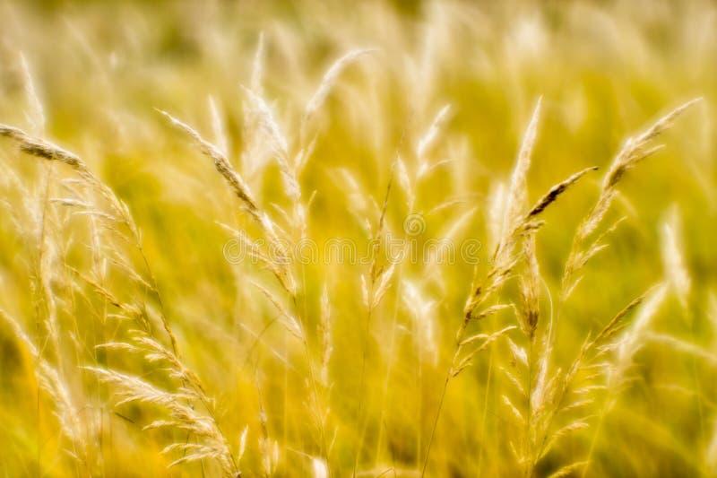 秋季干草的软背景模糊 小麦穗背景的提取 模糊 库存图片