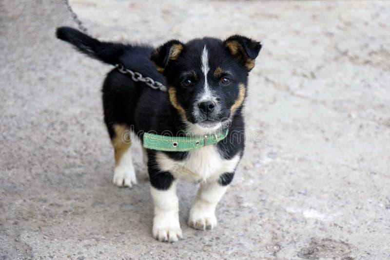 两只蓬松嬉戏的小狗 滑稽小狗使用室外在围场 可笑的小犬座 免版税库存图片