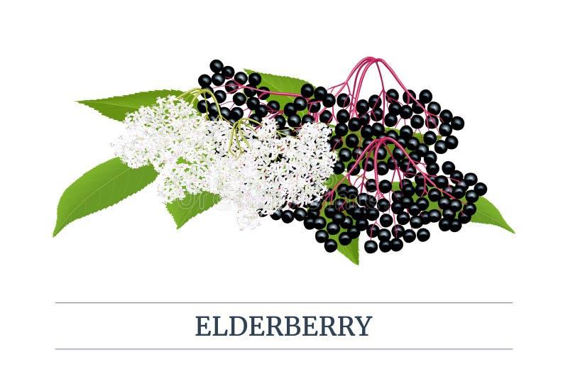 黑接骨木浆果条纹标签,与枝杈,莓果,花,叶子的拷贝空间 接骨木花 黑长辈 库存例证
