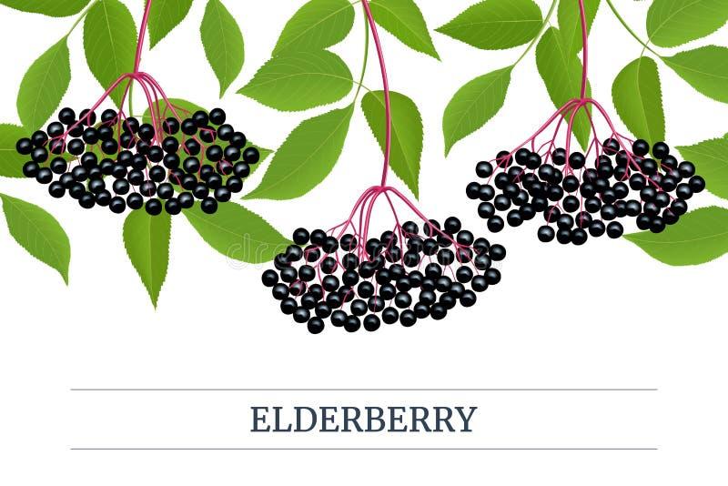 黑接骨木浆果条纹标签,与枝杈,莓果,叶子的拷贝空间 接骨木花 黑长辈,欧洲接骨木浆果 库存例证
