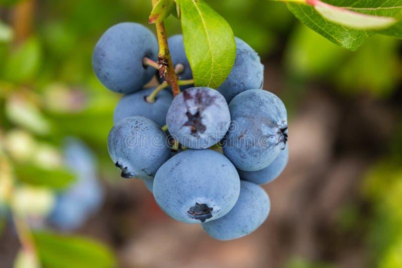 园林蓝莓美味健康的莓果 高灌蓝莓 蓝熟浆果在健康的绿色上 库存照片