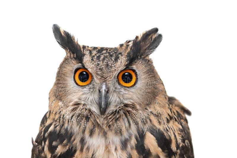 Портрет совы орла Евразии, бубо бубо Переключить вверх Изолировано на белом фоне стоковые фотографии rf