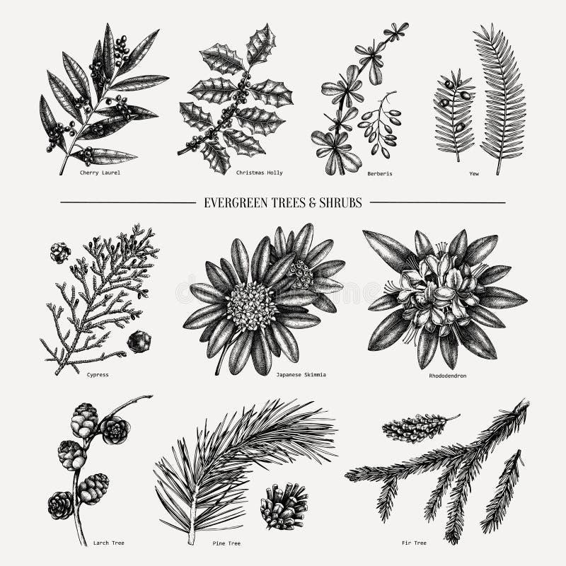 Insamling av Evergreen- och barrträd Inställning av årstider botanisk illustration med blad, barrträd, vektor illustrationer