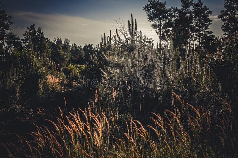 Verscheidene jonge pijnbomen in de voorgrond Voor hen zijn aren van wilde kruiden Achter tegen de achtergrond van de zomerclea stock foto