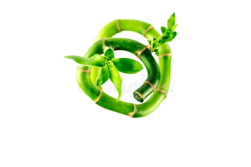 Tige en spirale tordue de forme de bambou chanceux frais sur le fond blanc Dracaena Sanderiana avec les feuilles vertes photographie stock