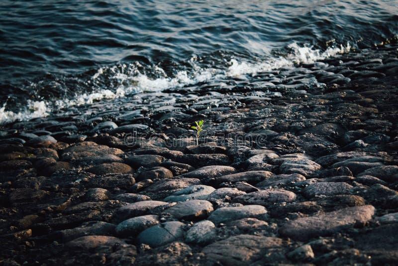 Un germoglio verde solitario sulle pietre grigie ai bordi dell'acqua Pietre grigie e nere sulla riva Ondata sulla costa di pietra fotografia stock libera da diritti