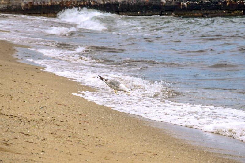 A gaivota está localizada na costa e bebe água do mar Ondas correm na praia arenosa No fundo está um píer, construído de fotografia de stock