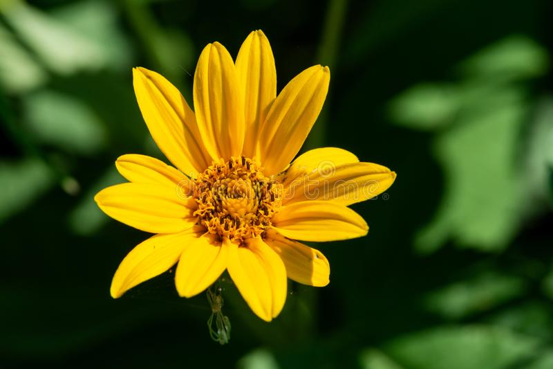 在大草原领域的明亮的黄色错误向日葵 菊科家庭的开花植物 Rhizomatous草本多年生植物 免版税库存图片