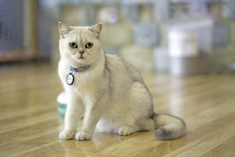 Wit-grijze kattenzitting die op de houten vloer in de ruimte in het huis staren Wit vier-legged dier Leuke zoogdieren Huisdieren  stock fotografie