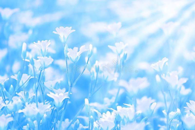 Małe białe kwiaty na słońcu na niebieskim pomalowanym tle Piękne letnie naturalne tło w kolorach pastelowych Łagodny selektywny obrazy royalty free