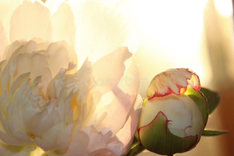 Ojämnt beskurna bitar av rosa blommor Peony Flower, stäng Floralt mönster med lätt rosa päronblomma Mjuka mönster av blomman arkivbild