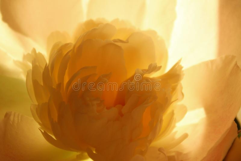 Ojämnt beskurna bitar av rosa blommor Peony Flower, stäng Floralt mönster med lätt rosa päronblomma Mjuka mönster av blomman royaltyfria bilder