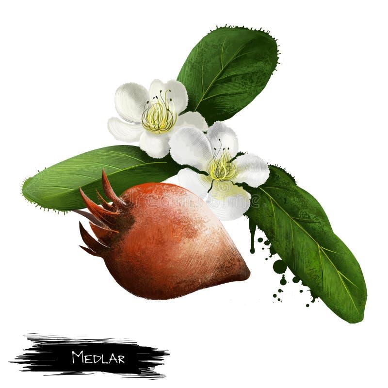 Mispelfrukt och blommor som isoleras på vit Mespilusgermanica, mispelet eller gemensam mispel Ätit, när du bletteds Mespilus arkivfoto
