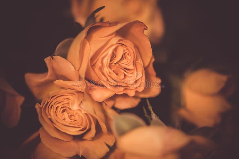 Lindas rosas delicadas florescem perto Imagem de macro, foto de foco seletiva Fundo de tonalidade da safra floral fotografia de stock royalty free
