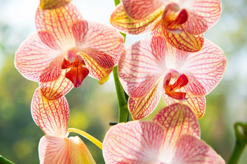 Orquídeas lindas florescem de perto Flor de orquídea rosa e flor amarela Orquídea da Conceito de botânica Orquídea imagens de stock royalty free