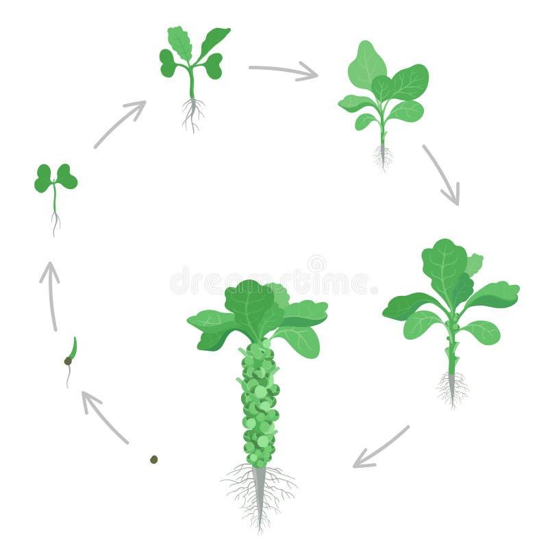 Stadi di coltura rotonde dei cavoli di Bruxelles Coltivazione circolare brussel germoglio Raccolto royalty illustrazione gratis